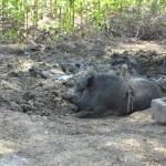 059ウマラさんの豚